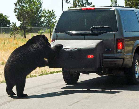 Bear trying to get into StowAway Standard Cargo Carrier